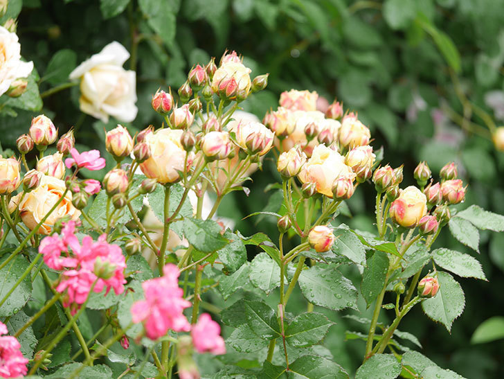 ラ・ドルチェ・ヴィータ(La Dolce Vita)の花が増えてきた。木立バラ。2021年-027.jpg