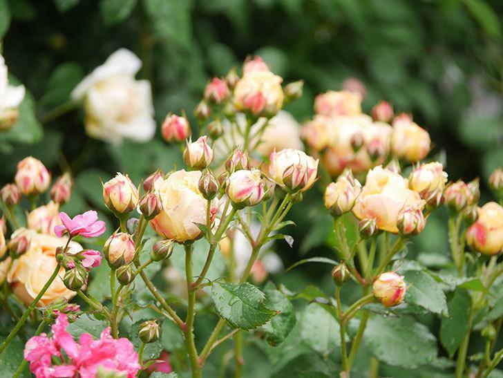 ラ・ドルチェ・ヴィータ(La Dolce Vita)の花が増えてきた。木立バラ。2021年-028.jpg