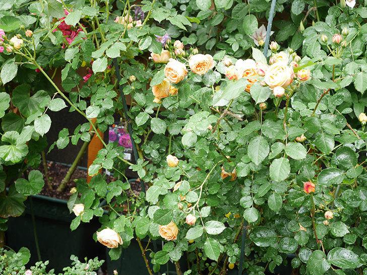 ラ・ドルチェ・ヴィータ(La Dolce Vita)の花が増えてきた。木立バラ。2021年-030.jpg