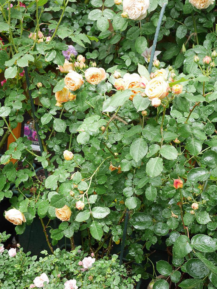 ラ・ドルチェ・ヴィータ(La Dolce Vita)の花が増えてきた。木立バラ。2021年-031.jpg