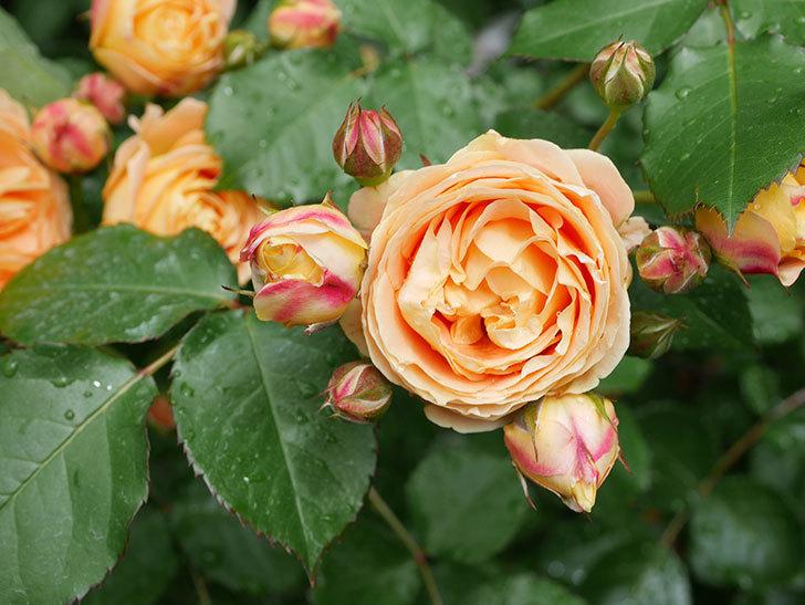 ラ・ドルチェ・ヴィータ(La Dolce Vita)の花が増えてきた。木立バラ。2021年-032.jpg