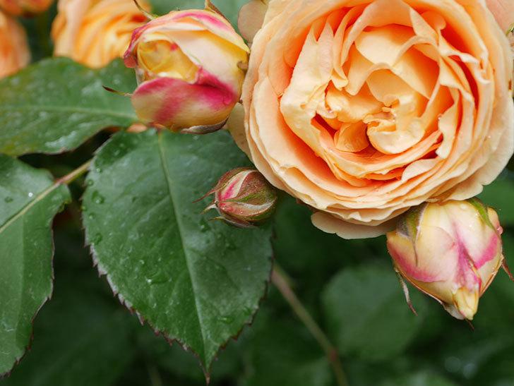 ラ・ドルチェ・ヴィータ(La Dolce Vita)の花が増えてきた。木立バラ。2021年-033.jpg