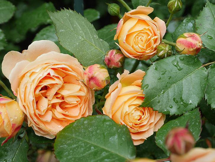 ラ・ドルチェ・ヴィータ(La Dolce Vita)の花が増えてきた。木立バラ。2021年-034.jpg