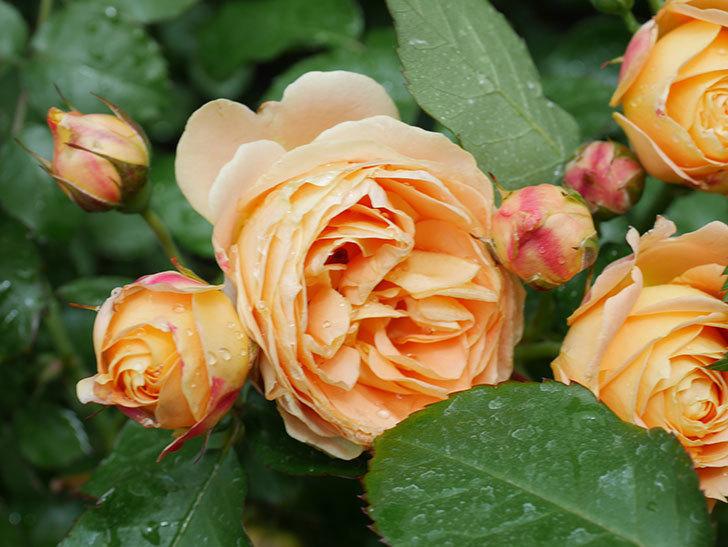 ラ・ドルチェ・ヴィータ(La Dolce Vita)の花が増えてきた。木立バラ。2021年-035.jpg