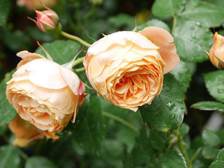 ラ・ドルチェ・ヴィータ(La Dolce Vita)の花が増えてきた。木立バラ。2021年-036.jpg