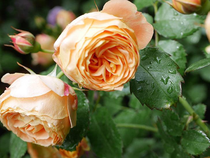 ラ・ドルチェ・ヴィータ(La Dolce Vita)の花が増えてきた。木立バラ。2021年-037.jpg