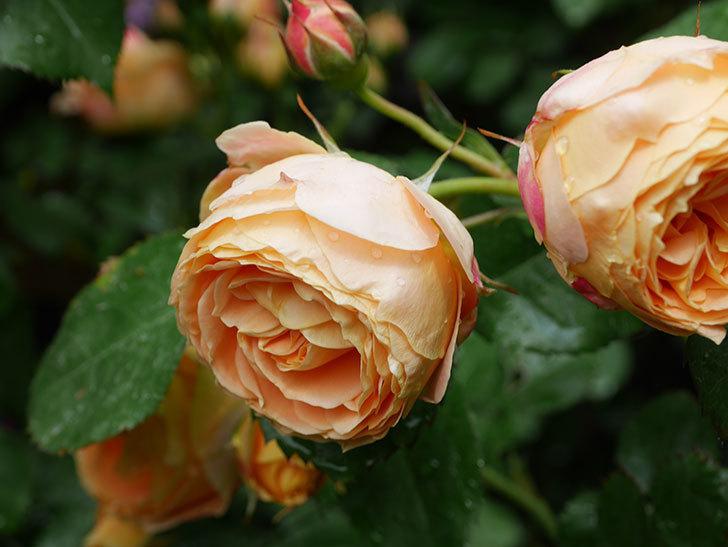 ラ・ドルチェ・ヴィータ(La Dolce Vita)の花が増えてきた。木立バラ。2021年-038.jpg