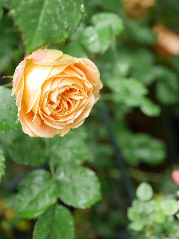 ラ・ドルチェ・ヴィータ(La Dolce Vita)の花が増えてきた。木立バラ。2021年-040.jpg