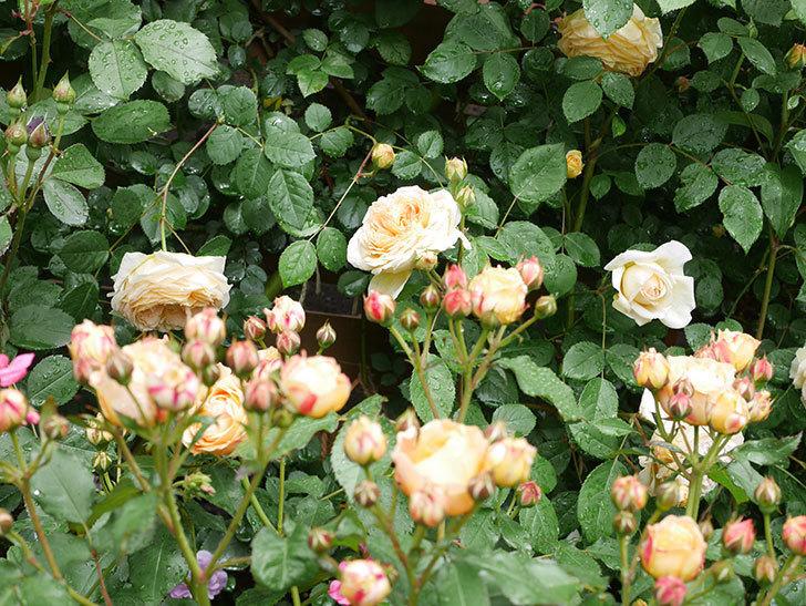 ラ・ドルチェ・ヴィータ(La Dolce Vita)の花が増えてきた。木立バラ。2021年-041.jpg