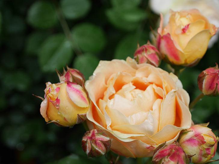 ラ・ドルチェ・ヴィータ(La Dolce Vita)の花が増えてきた。木立バラ。2021年-042.jpg