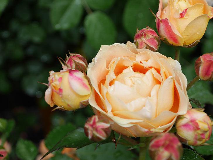 ラ・ドルチェ・ヴィータ(La Dolce Vita)の花が増えてきた。木立バラ。2021年-043.jpg