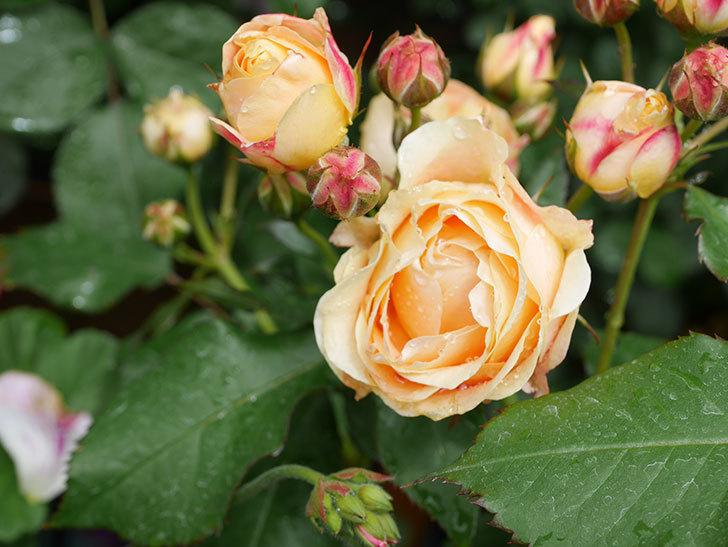 ラ・ドルチェ・ヴィータ(La Dolce Vita)の花が増えてきた。木立バラ。2021年-044.jpg