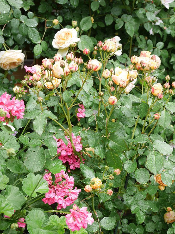 ラ・ドルチェ・ヴィータ(La Dolce Vita)の花が増えてきた。木立バラ。2021年-045.jpg