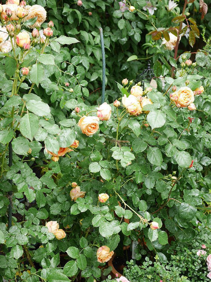 ラ・ドルチェ・ヴィータ(La Dolce Vita)の花が増えてきた。木立バラ。2021年-046.jpg