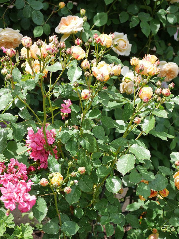 ラ・ドルチェ・ヴィータ(La Dolce Vita)の花が増えてきた。木立バラ。2021年-047.jpg