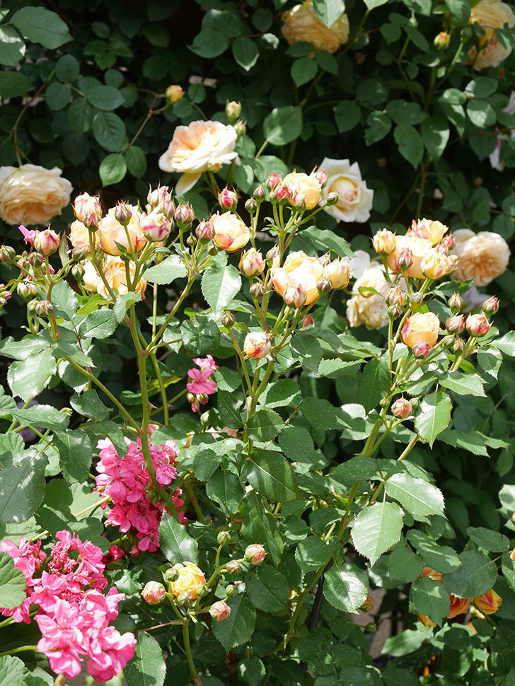 ラ・ドルチェ・ヴィータ(La Dolce Vita)の花が増えてきた。木立バラ。2021年-048.jpg
