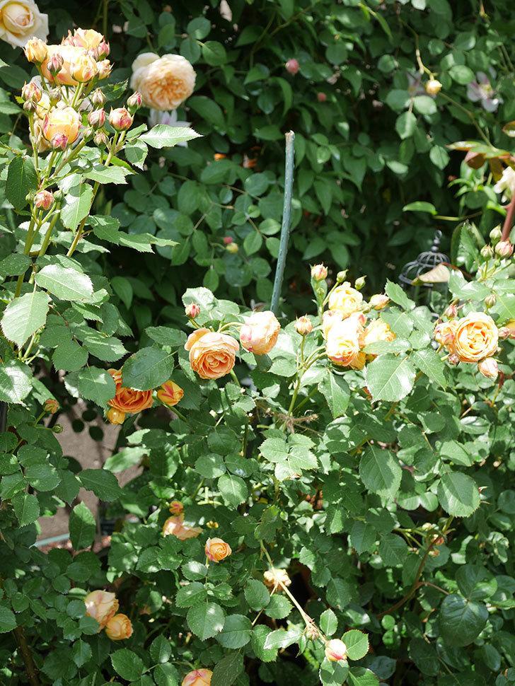 ラ・ドルチェ・ヴィータ(La Dolce Vita)の花が増えてきた。木立バラ。2021年-049.jpg