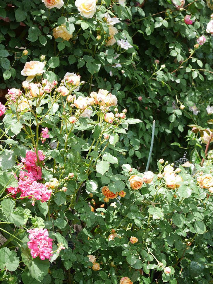 ラ・ドルチェ・ヴィータ(La Dolce Vita)の花が増えてきた。木立バラ。2021年-050.jpg