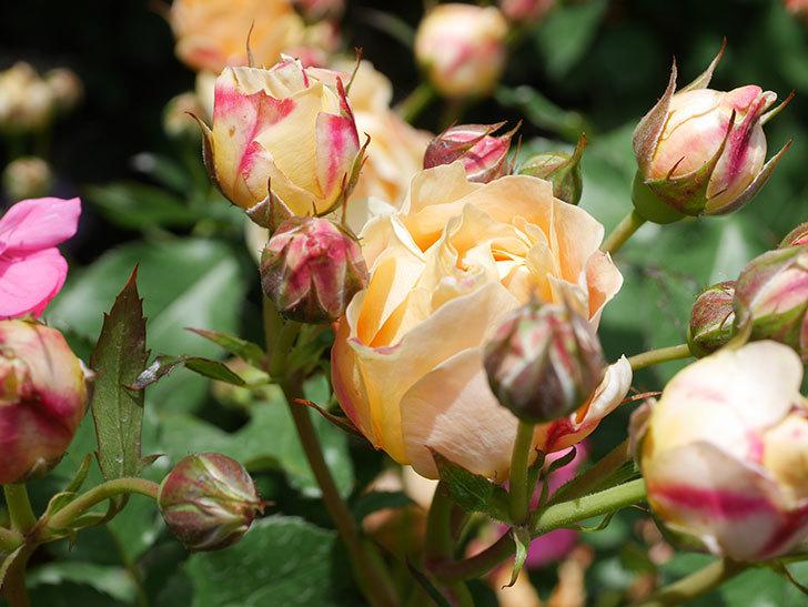 ラ・ドルチェ・ヴィータ(La Dolce Vita)の花が増えてきた。木立バラ。2021年-054.jpg