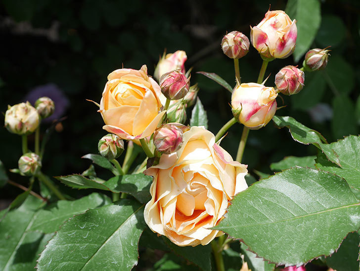 ラ・ドルチェ・ヴィータ(La Dolce Vita)の花が増えてきた。木立バラ。2021年-055.jpg