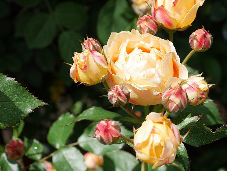 ラ・ドルチェ・ヴィータ(La Dolce Vita)の花が増えてきた。木立バラ。2021年-057.jpg