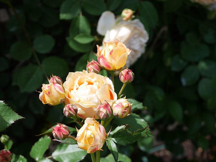ラ・ドルチェ・ヴィータ(La Dolce Vita)の花が増えてきた。木立バラ。2021年-058.jpg