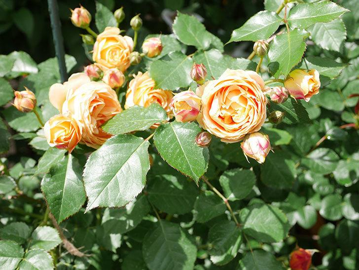ラ・ドルチェ・ヴィータ(La Dolce Vita)の花が増えてきた。木立バラ。2021年-059.jpg