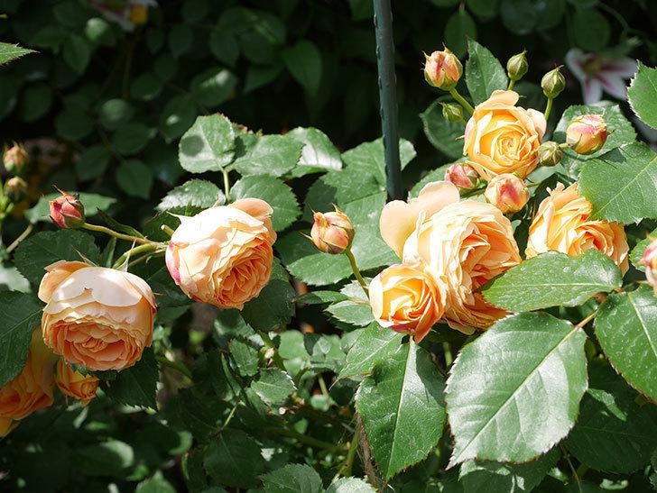 ラ・ドルチェ・ヴィータ(La Dolce Vita)の花が増えてきた。木立バラ。2021年-060.jpg