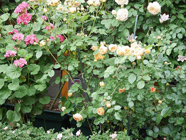 ラ・ドルチェ・ヴィータ(La Dolce Vita)の花が増えてきた。木立バラ。2021年-061.jpg