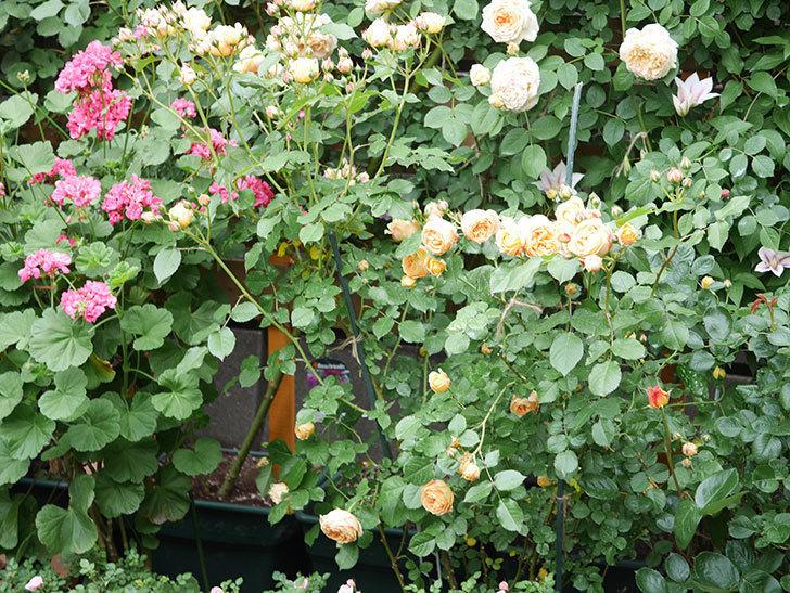 ラ・ドルチェ・ヴィータ(La Dolce Vita)の花が増えてきた。木立バラ。2021年-062.jpg