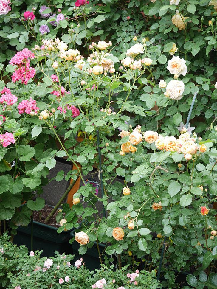 ラ・ドルチェ・ヴィータ(La Dolce Vita)の花が増えてきた。木立バラ。2021年-063.jpg