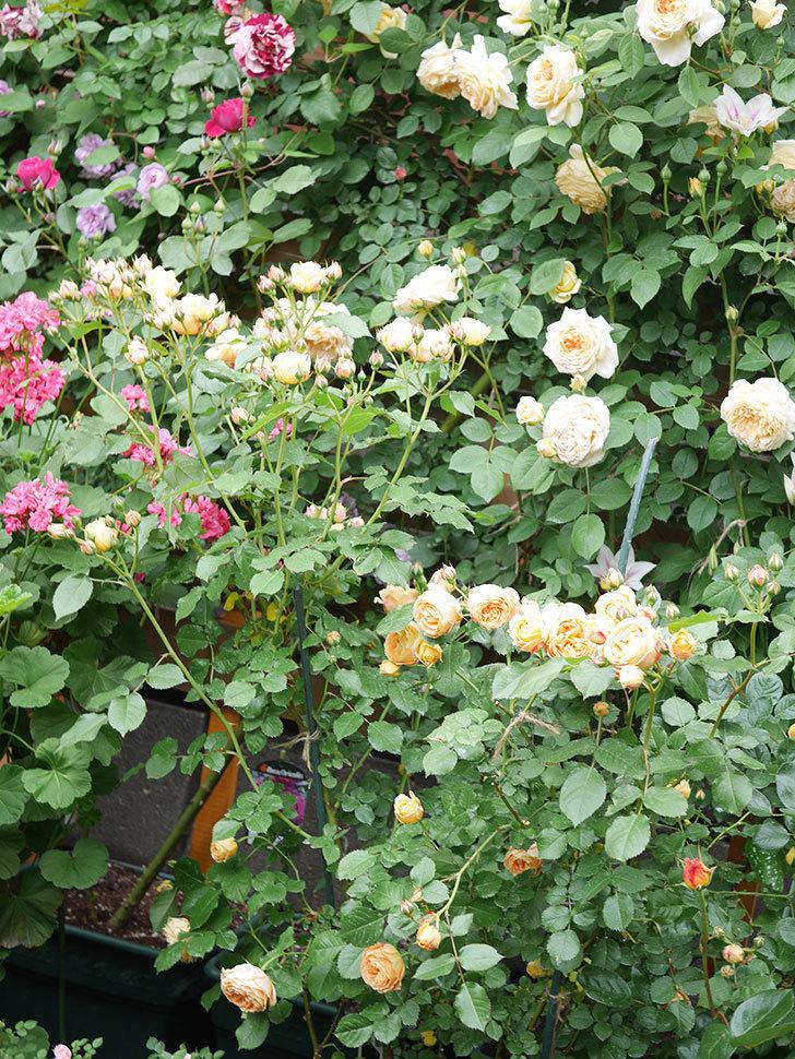 ラ・ドルチェ・ヴィータ(La Dolce Vita)の花が増えてきた。木立バラ。2021年-064.jpg