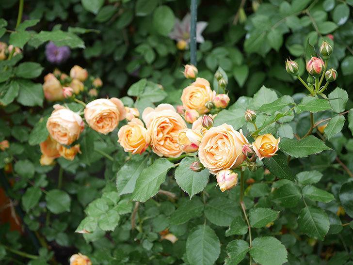 ラ・ドルチェ・ヴィータ(La Dolce Vita)の花が増えてきた。木立バラ。2021年-065.jpg