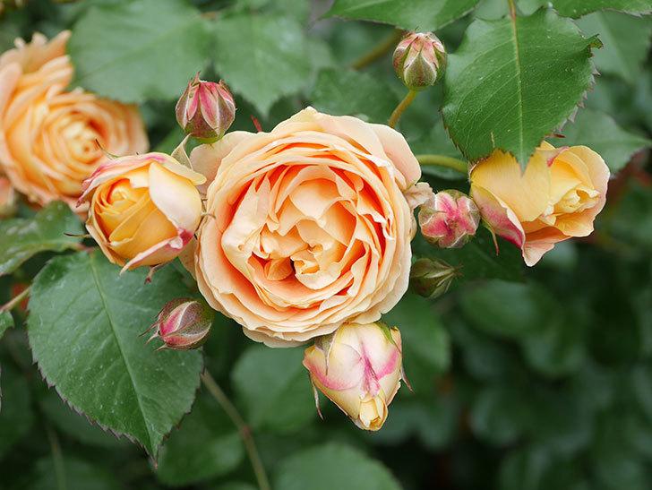ラ・ドルチェ・ヴィータ(La Dolce Vita)の花が増えてきた。木立バラ。2021年-066.jpg
