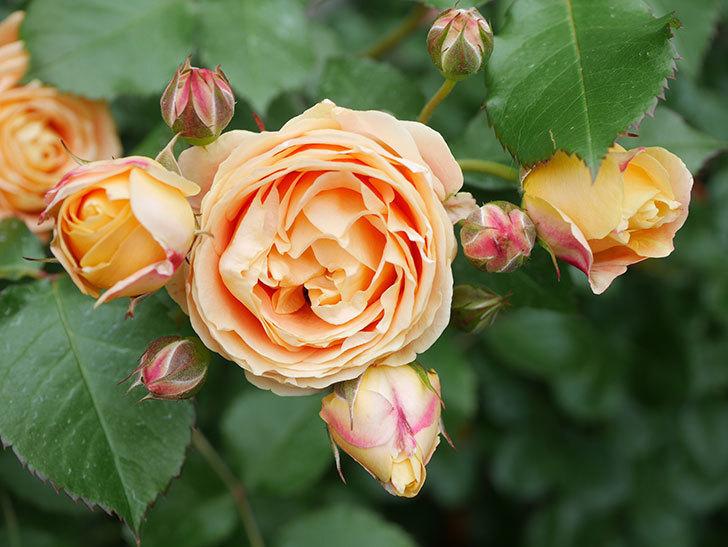 ラ・ドルチェ・ヴィータ(La Dolce Vita)の花が増えてきた。木立バラ。2021年-067.jpg