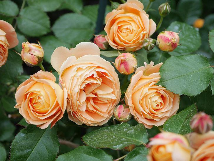 ラ・ドルチェ・ヴィータ(La Dolce Vita)の花が増えてきた。木立バラ。2021年-068.jpg