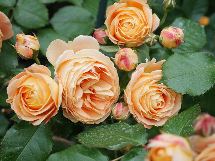 ラ・ドルチェ・ヴィータ(La Dolce Vita)の花が増えてきた。木立バラ。2021年-069.jpg