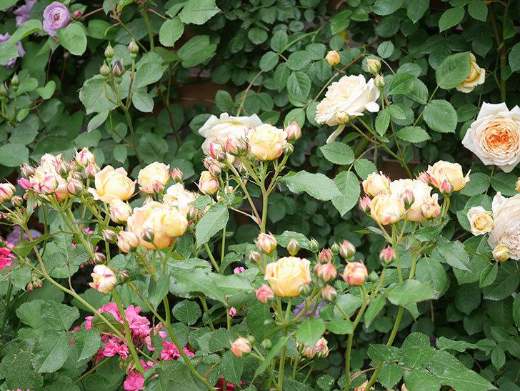 ラ・ドルチェ・ヴィータ(La Dolce Vita)の花が増えてきた。木立バラ。2021年-071.jpg