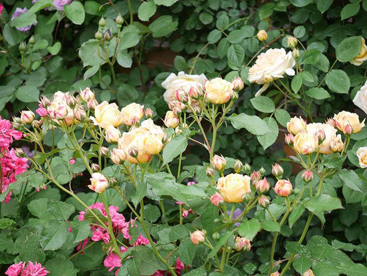 ラ・ドルチェ・ヴィータ(La Dolce Vita)の花が増えてきた。木立バラ。2021年-072.jpg