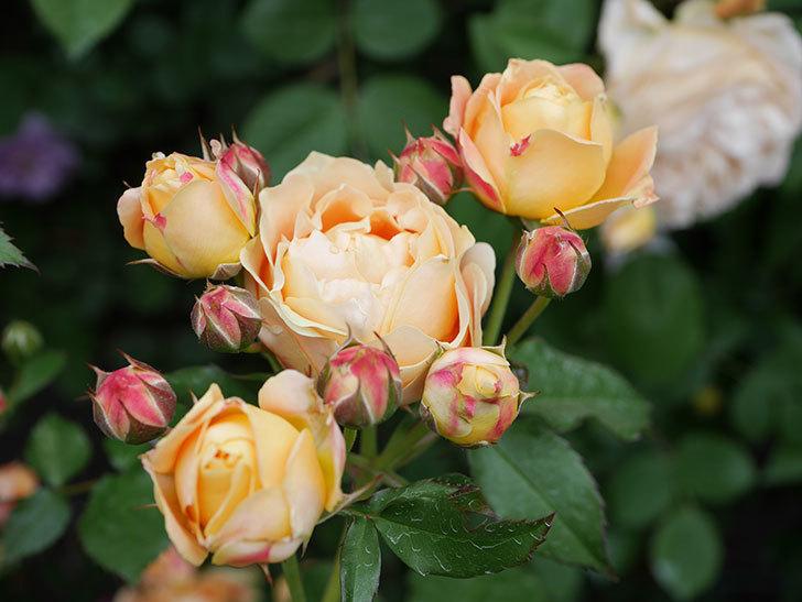 ラ・ドルチェ・ヴィータ(La Dolce Vita)の花が増えてきた。木立バラ。2021年-073.jpg