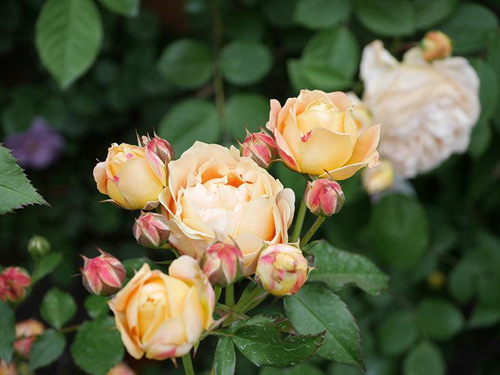 ラ・ドルチェ・ヴィータ(La Dolce Vita)の花が増えてきた。木立バラ。2021年-074.jpg