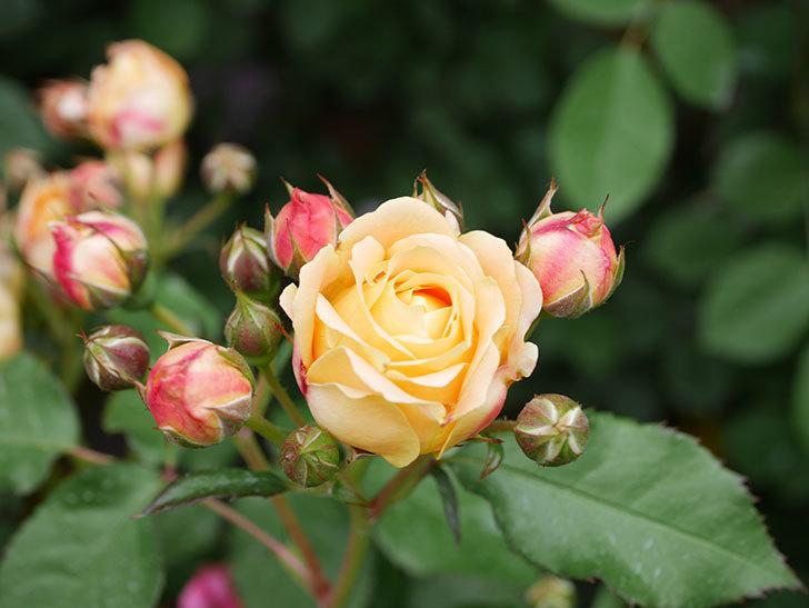 ラ・ドルチェ・ヴィータ(La Dolce Vita)の花が増えてきた。木立バラ。2021年-075.jpg