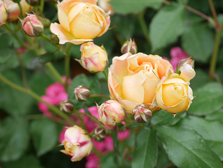 ラ・ドルチェ・ヴィータ(La Dolce Vita)の花が増えてきた。木立バラ。2021年-076.jpg