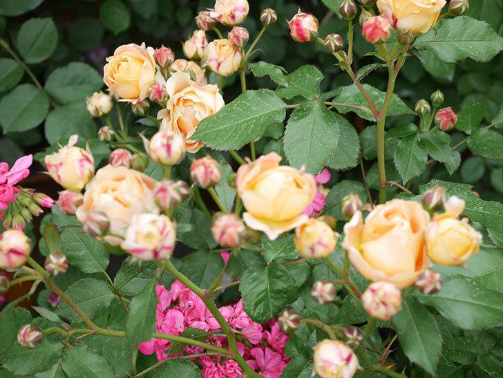 ラ・ドルチェ・ヴィータ(La Dolce Vita)の花が増えてきた。木立バラ。2021年-077.jpg
