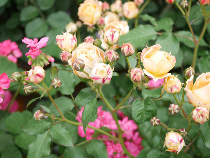 ラ・ドルチェ・ヴィータ(La Dolce Vita)の花が増えてきた。木立バラ。2021年-078.jpg