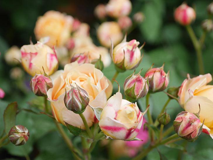 ラ・ドルチェ・ヴィータ(La Dolce Vita)の花が増えてきた。木立バラ。2021年-079.jpg