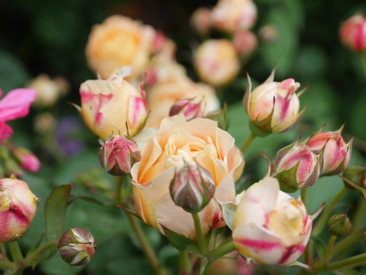 ラ・ドルチェ・ヴィータ(La Dolce Vita)の花が増えてきた。木立バラ。2021年-080.jpg