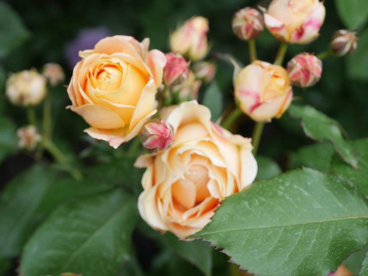 ラ・ドルチェ・ヴィータ(La Dolce Vita)の花が増えてきた。木立バラ。2021年-081.jpg