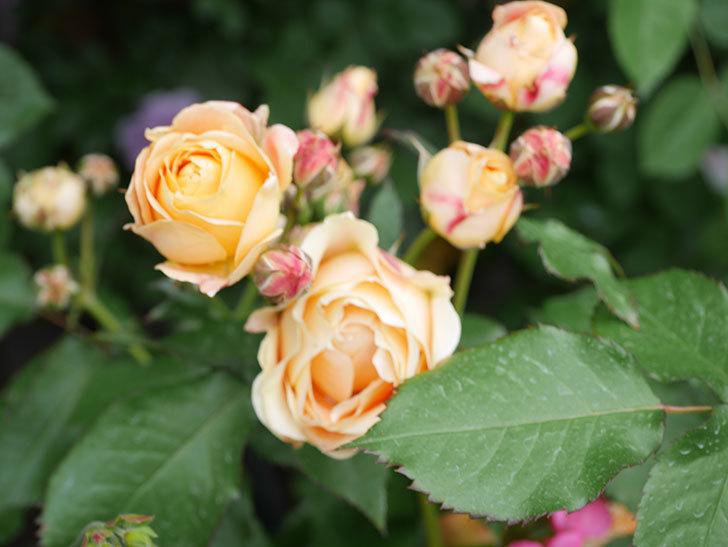 ラ・ドルチェ・ヴィータ(La Dolce Vita)の花が増えてきた。木立バラ。2021年-082.jpg