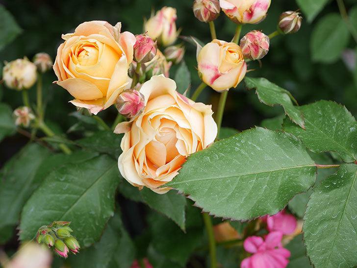 ラ・ドルチェ・ヴィータ(La Dolce Vita)の花が増えてきた。木立バラ。2021年-083.jpg